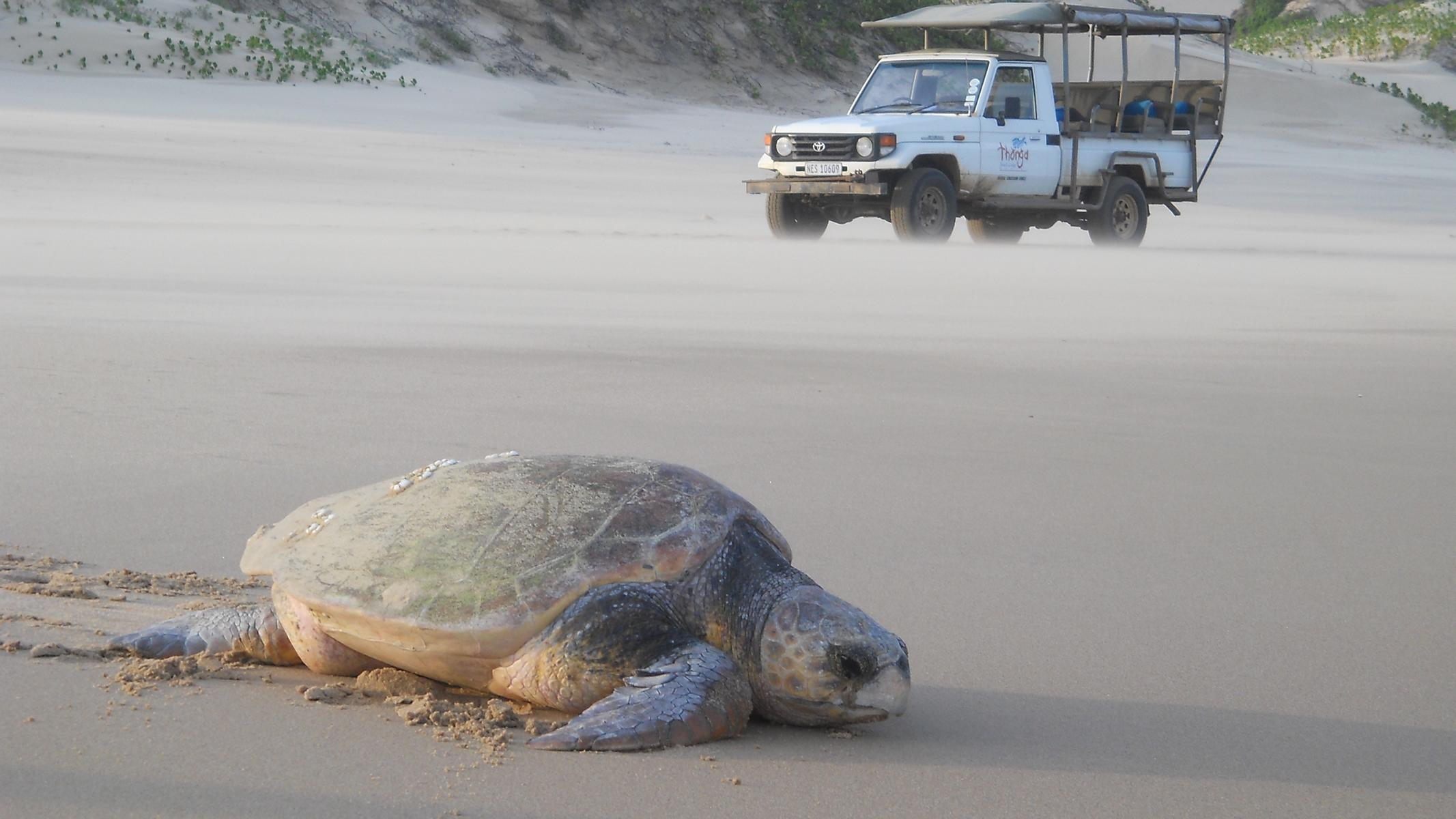 ThongaBeachLodge - K1600_turtle_on_beach_-_ashleigh.jpg