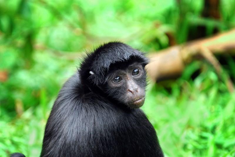 Affe im Regenwald auf einer Kreuzfahrt mit der Aria Amazon