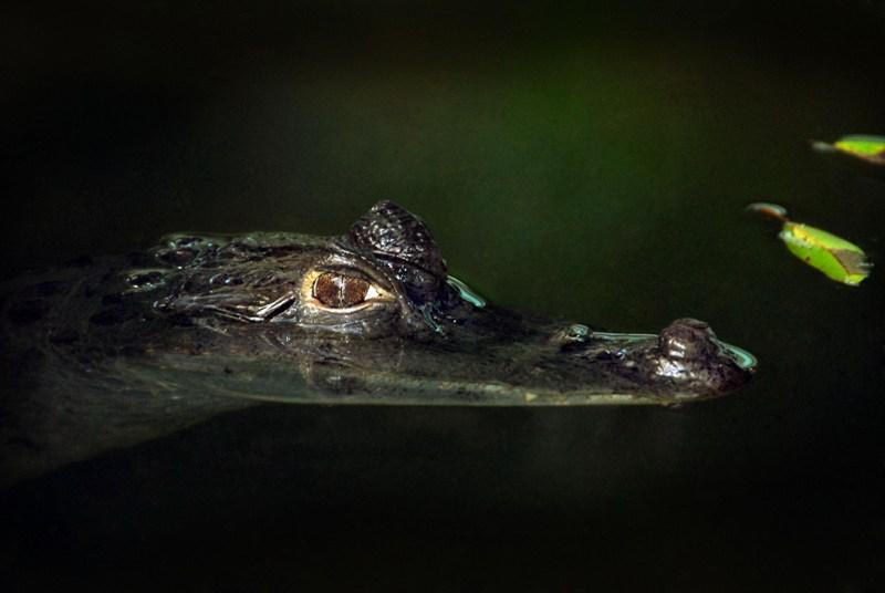 Ein Kaiman im Amazonas auf einer Kreuzfahrt mit der Aria Amazon