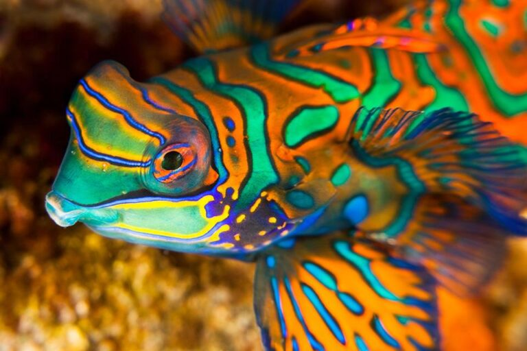 Blu - mandarin-fish-banda-neira-spice-islands.jpg