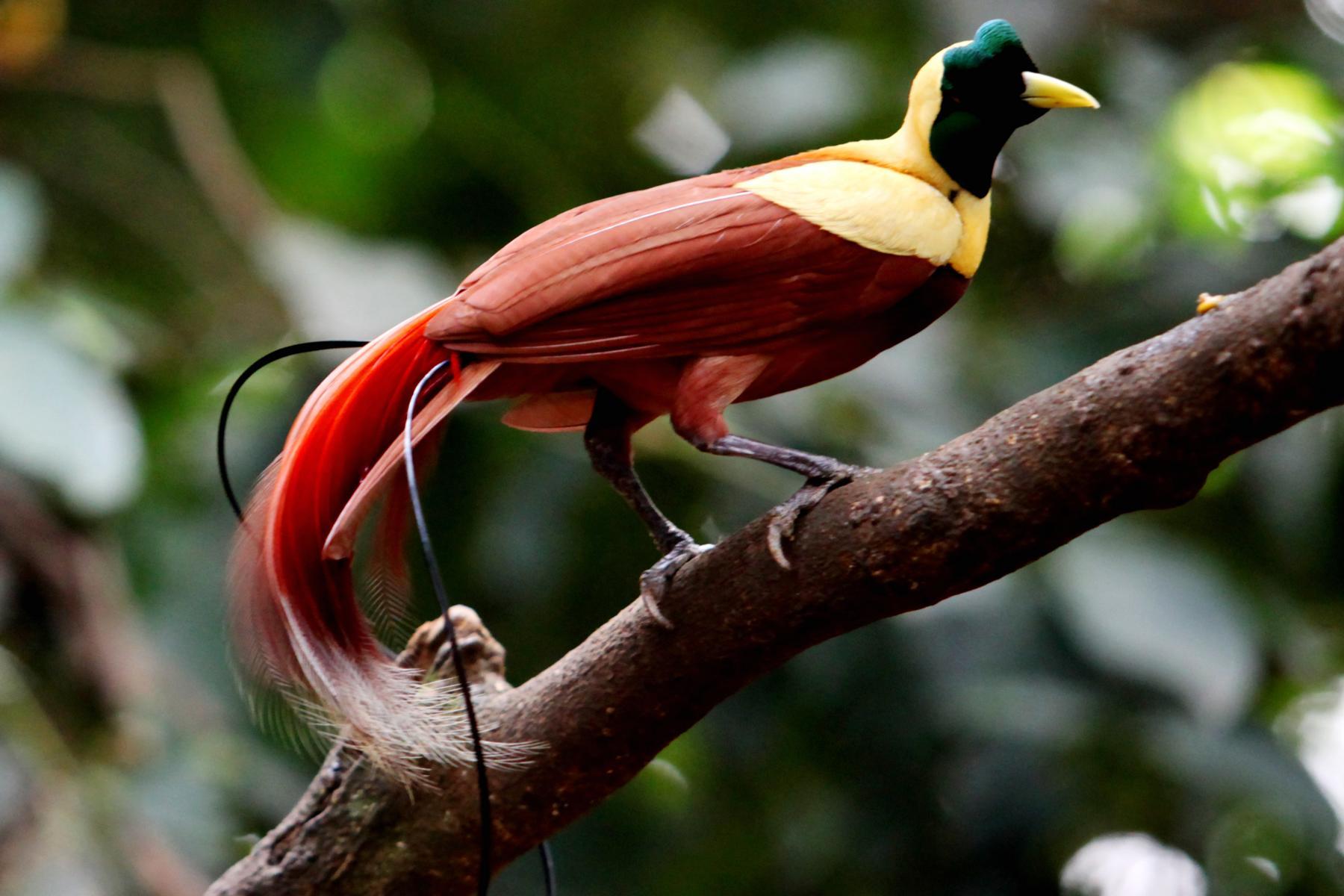Farbenfroher Vogel in Indonesien auf einer Kreuzfahrt mit der Aqua Blu