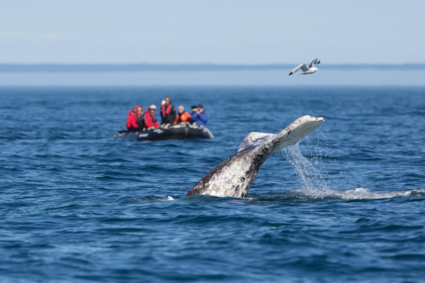 Walbeobachtung auf einer Kreuzfahrt mit der Silver Muse von Silversea Cruises