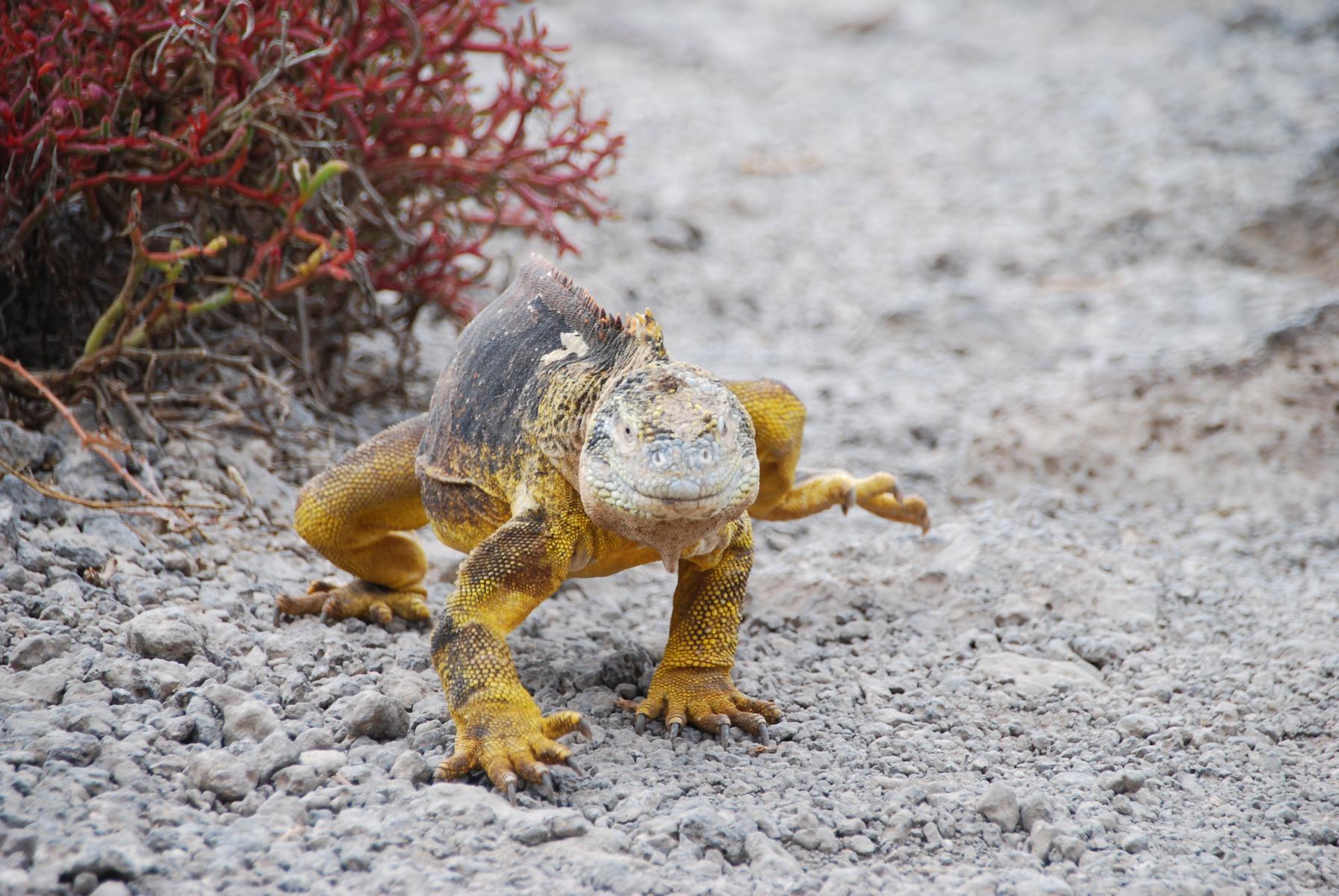 MCElite - K1600_Concurso-de-Fotografía-Galapagos-Iguana-by-Cristina-Arteaga-September-2017.jpg