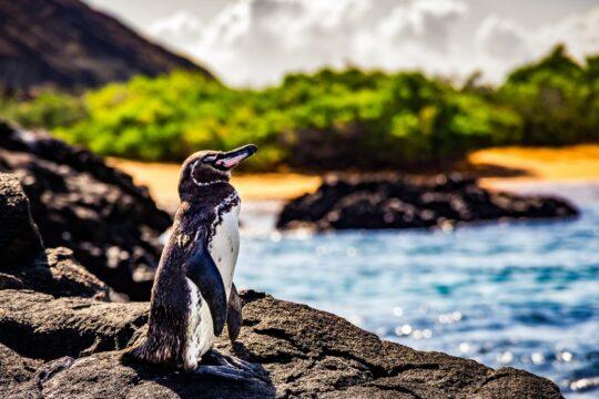 Rundreise - K1600_Ecuador-penguin-shutterstock_733281439.jpg