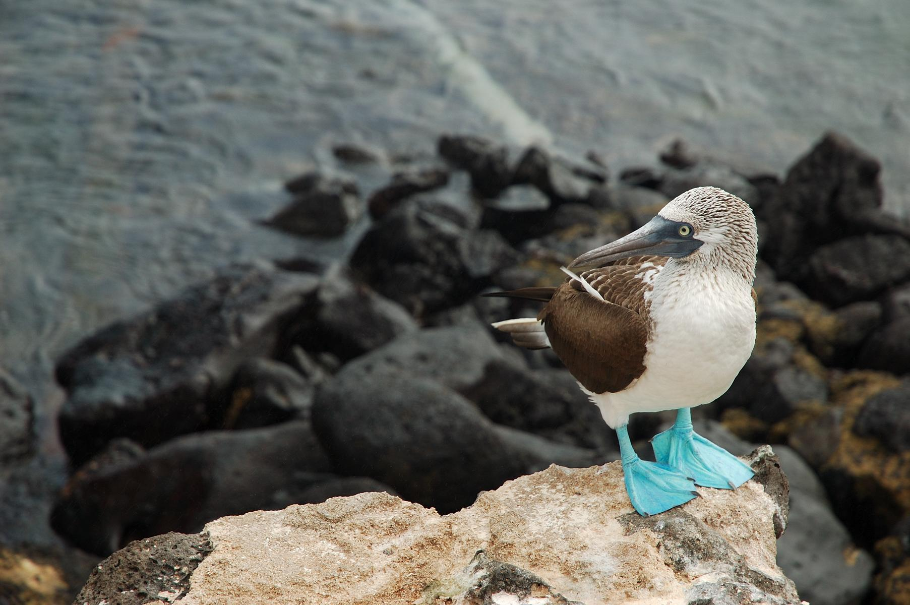 Rundreise - K1600_Galapagos-Ecuador-Blue-Footed-Booby-shutterstock_811635.jpg